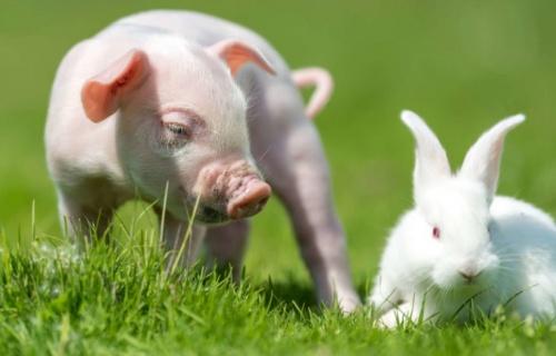женщина-свинья и мужчина-кролик