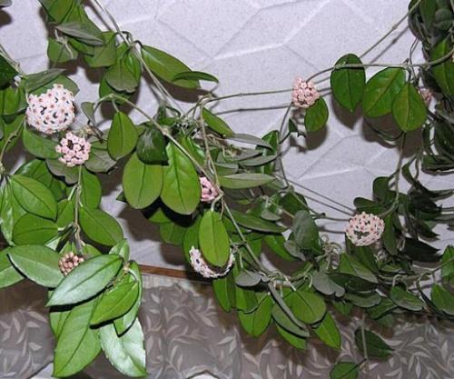 Почему цветы мужегоны так называются