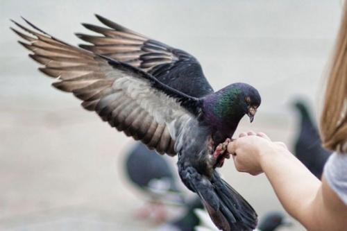 голубь - птица мира