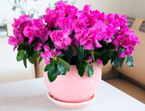 Список домашних цветов мужегонов