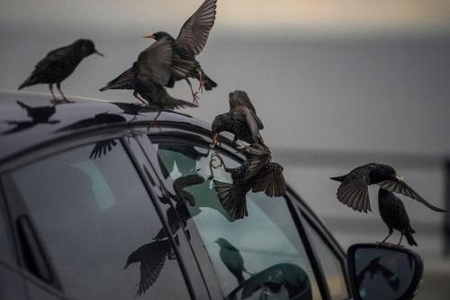 птицы на машине