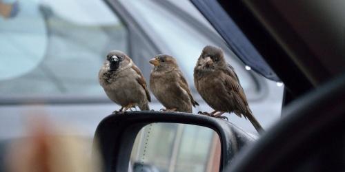 птицы в салоне машины